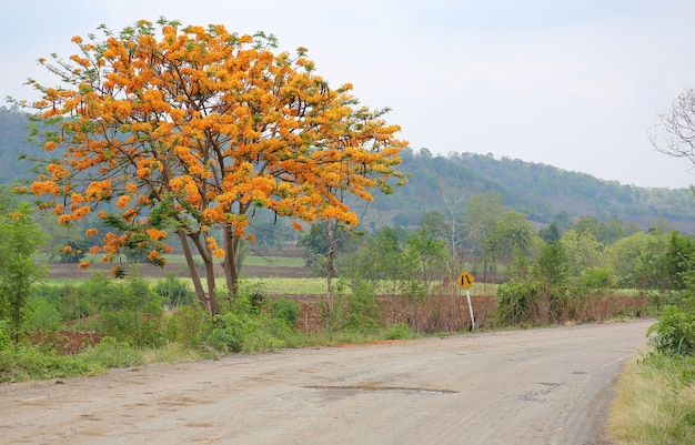 Flame tree or peacock flower with country road