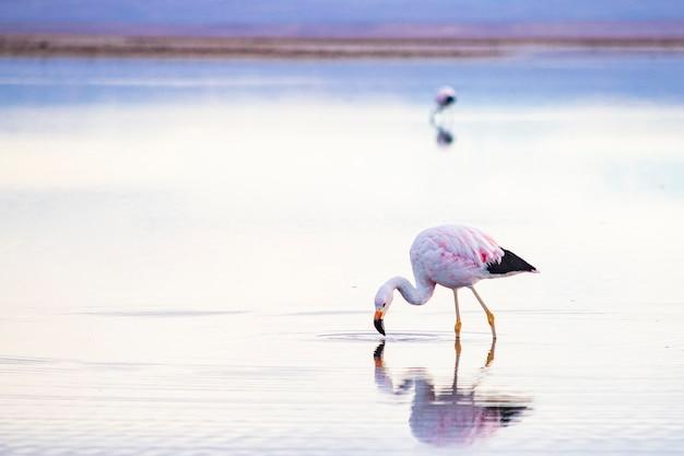 ラグーンのアタカマ砂漠にあるフラミンゴ。