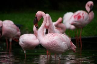ピンクflamengos、ピンク