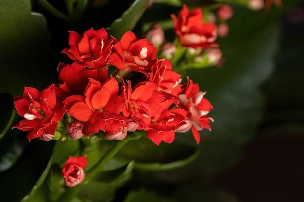 Пылающая кэти из вида kalanchoe blossfeldiana
