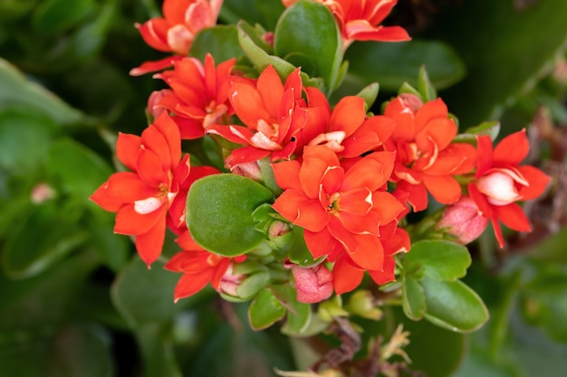 Пылающий кэти красный цветок вида kalanchoe blossfeldiana