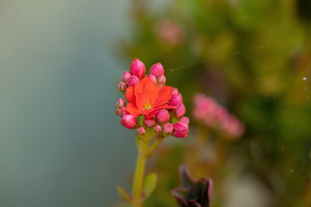 Flaming katy red flower of the species kalanchoe blossfeldiana with selective focus