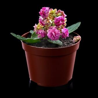 Красивый розовый цветок каланхоэ или flaming katy в маленьком горшке на черной стене
