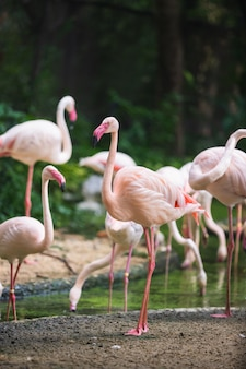 バンコクのデュシット動物園の池や木々とフラミンゴの鳥の日中の生活。