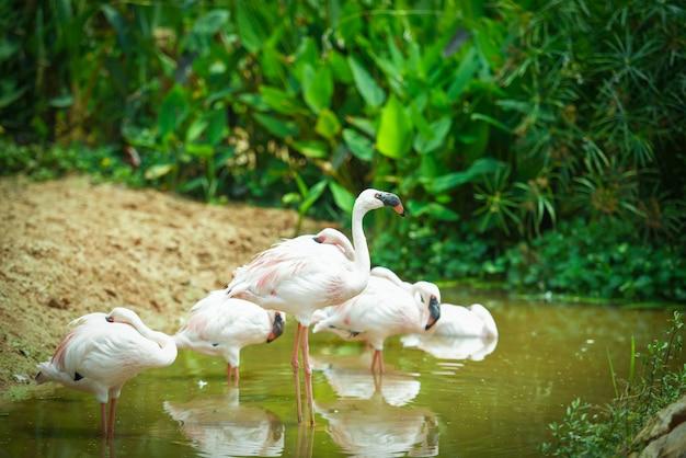 Flamingo bird at lake river nature tropical animals - greater flamingo