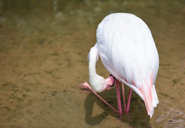 フラミンゴ鳥ピンクの湖川自然熱帯動物 - 大フラミンゴで美しい