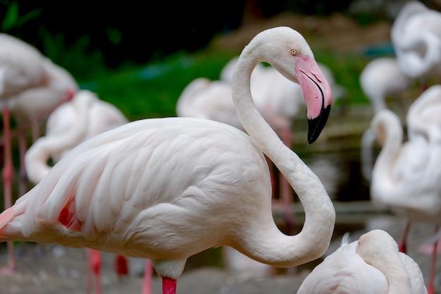 フラミンゴ鳥
