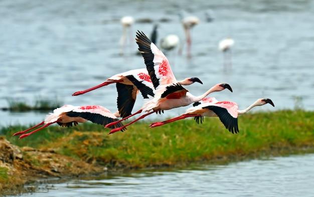 ケニア、アフリカのサファリ、ナクル湖のフラミンゴ鳥 Premium写真