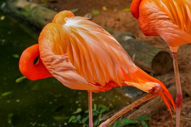 Flamingo closeup over dark