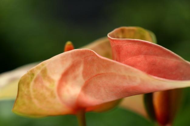 Цветок фламинго в природе