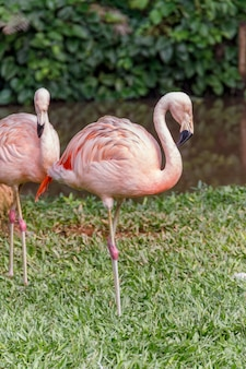 Flamingo on a green lawn in santa catarina