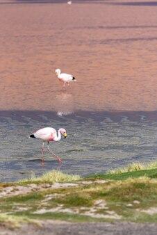 ピンクの湖のフラミンゴ