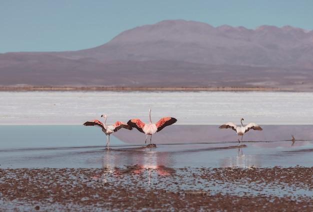 ボリビアのアルティプラノ野生生物自然の荒野の湖のフラミンゴ