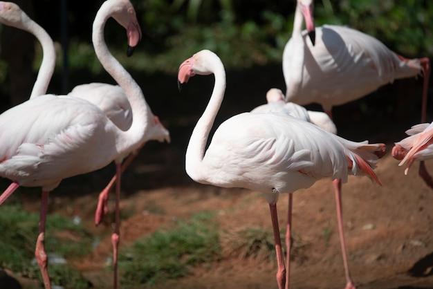 Фламинго в зоопарке, таиланд