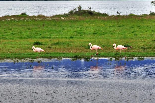 칠레 파타고니아의 토레스 델 페인 국립 공원 플라밍고