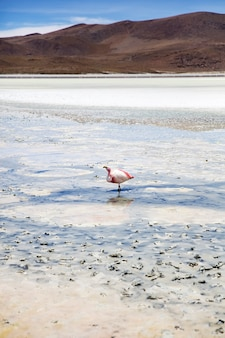 Flamingo at laguna hedionda in bolivia