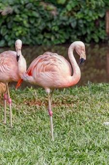 Фламинго на зеленой лужайке в санта-катарина