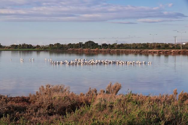 Фламинго на соленом озере в ларнаке, кипр