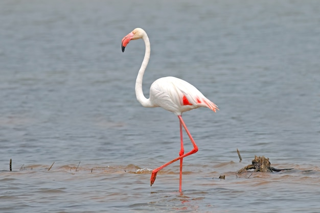 Flamingo phoenicopteridae beautiful birds in the pond