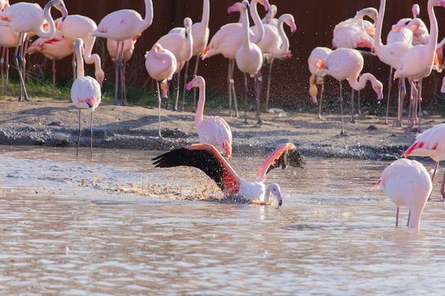 動物保護区の池で水浴びしながら翼を広げているフラミンゴ