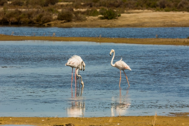 Flamingos in delta de l'ebre nature park, tarragona, catalonia, spain