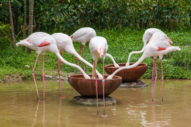 Flamingos eating food and water