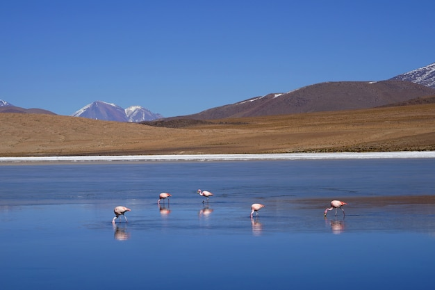 The flamingos eating naturally in the lake.