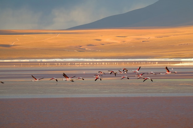 Flamingos flying on laguna colorada (red lagoon), salt lake at altiplano plateau, bolivia