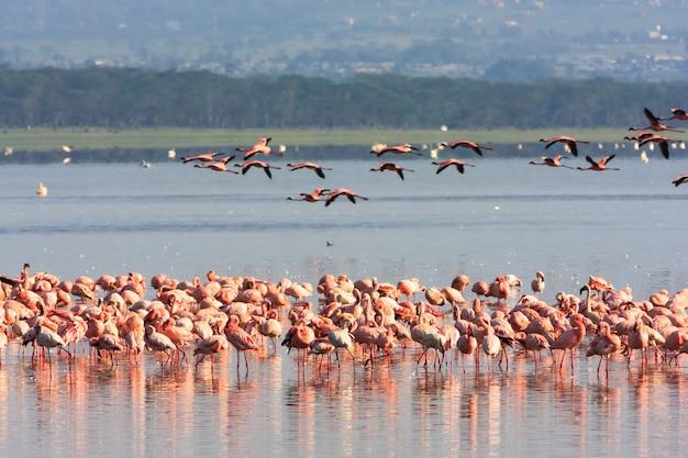 ナクルのフラミンゴ。ケニア、アフリカ