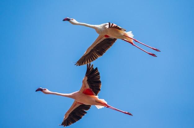 飛行中のフラミンゴ