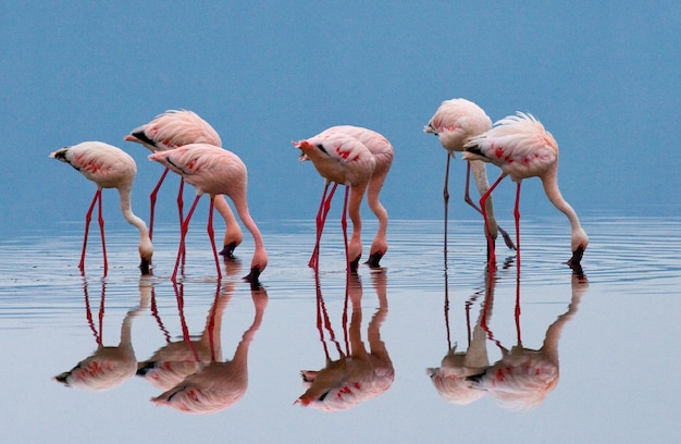 Flamingos on the lake with reflection