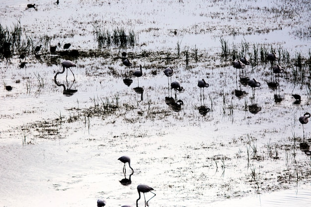 Flamingos in spring in aiguamolls de l'emporda nature reserve, spain.
