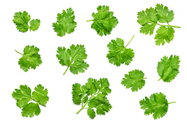 Flat lay collection of fresh coriander leaves isolated on white.