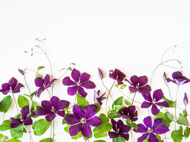 Flat lay composition of purple clematis flowers and leaves isolated on white. top view.