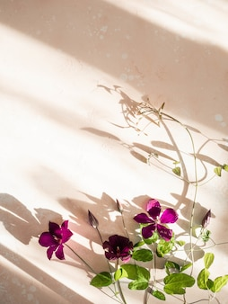 Flat lay composition of purple clematis flowers and leaves in the sunlight on pink background. top view.