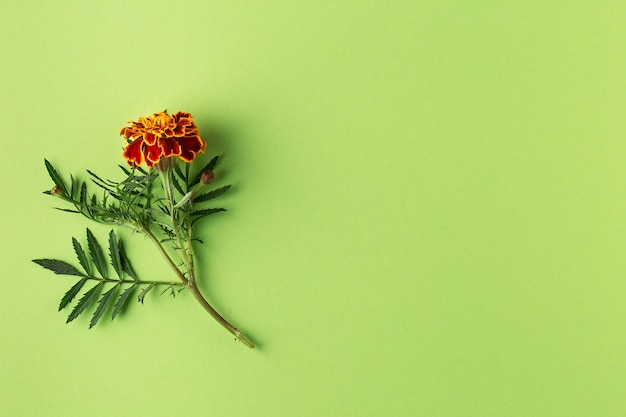 Flat lay composition with marigold flowers on green background