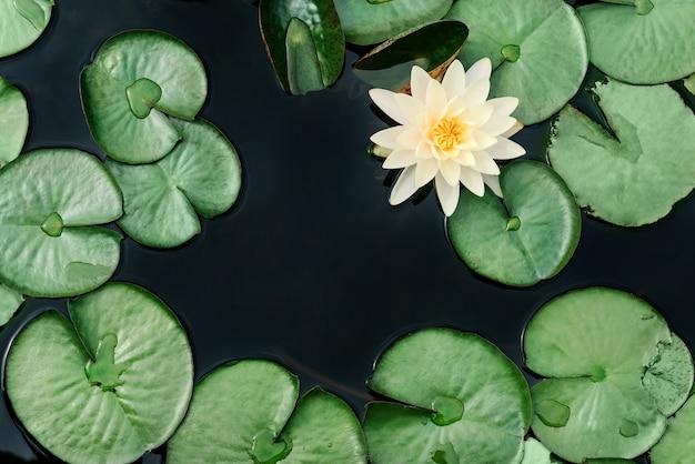 Плоская композиция с кувшинками и листьями кувшинки на фоне темной воды с местом для текста.