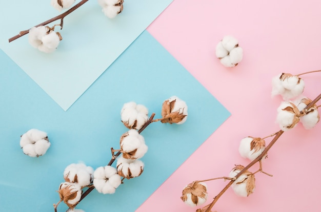 Flat lay cotton flowers on colorful background