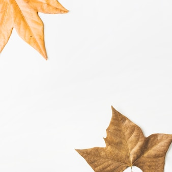 Flat lay of fall maple leaves designed in corners