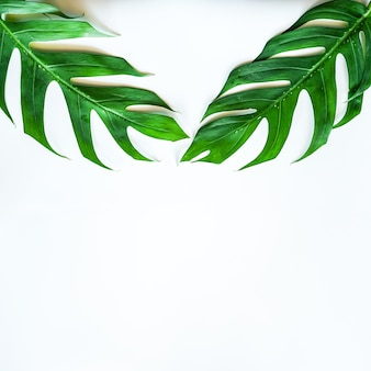 Flat lay of green tropical monstera leaf on white