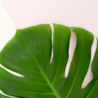 Flat lay of monstera leaf