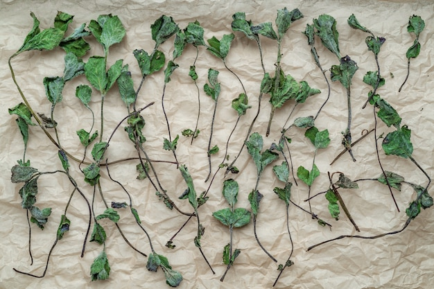 Flat lay of natural dry mint leaves on a paper