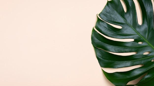 복사 공간 monstera 잎의 플랫 누워