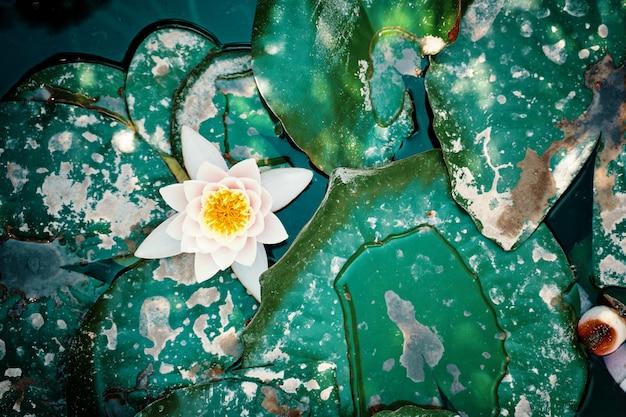 スイレンと大きな緑の葉が水に浮かんでいる平らな場所に、貯水池で育つ美しい花が...