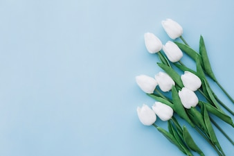 Flat lay of white tulips on blue background with copy space on the left