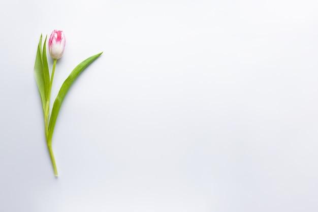 Плоский лежал один тюльпан на белом фоне с copyspace