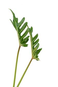 フラット横たわっていたフィロデンドロン熱帯緑の葉が白い背景に、平面図上で分離