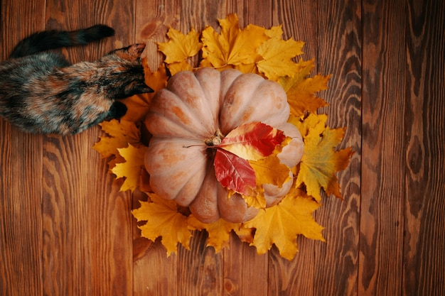 Flat lay of a ripe round pumpkin with red and yellow autumn leaves a large pumpkin and a colorful cu...