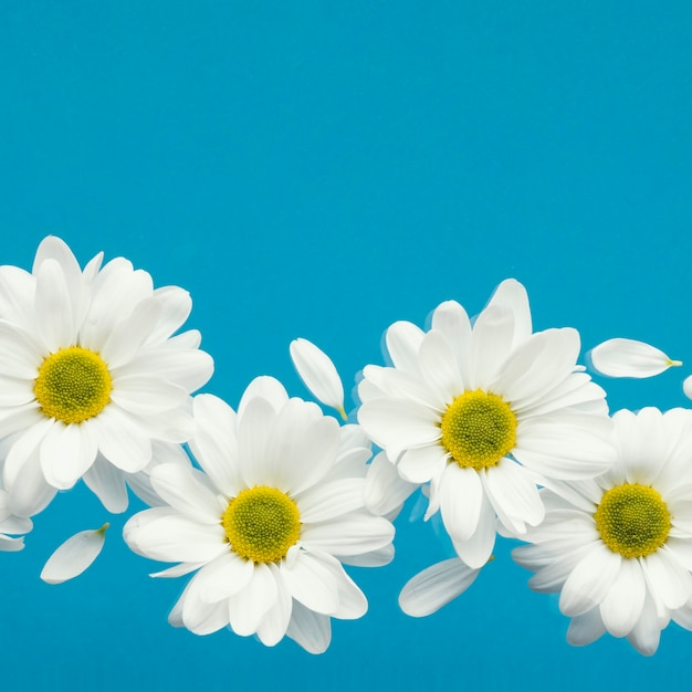 Flat lay of spring daisies with petals and copy space