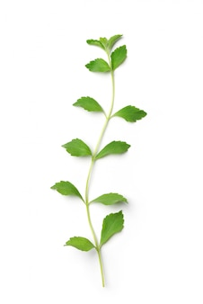 Flat lay of stevia plant isolated on white.